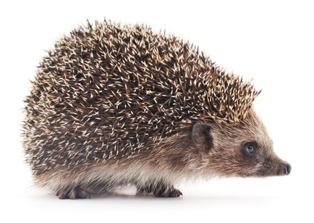 Prickly hedgehog isolated on a white background.