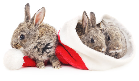 animals and pets: Three rabbits in a Christmas hat isolated on a white background.