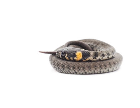 solidified: Little snake isolated on a white background.