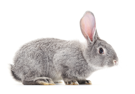 isolated on gray: Grey baby rabbit on a white background.