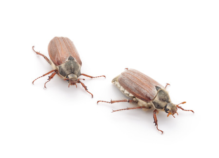 beetles: Two may beetles isolated on a white background.