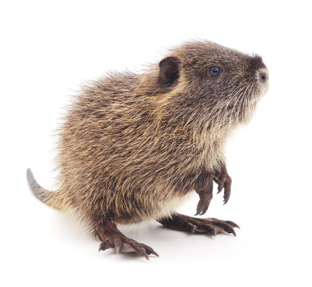 posterity: Baby nutria isolated on a white background.