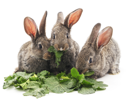 Young rabbits that eat greens on a white background.