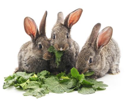 Junge Kaninchen, die Grüns auf einem weißen Hintergrund zu essen. Standard-Bild - 51506226