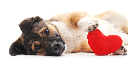 The dog holds in paws heart.
