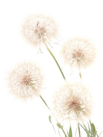 fluffy: Large fluffy dandelion isolated on white background. Stock Photo