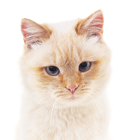 gray eyes: White cat with gray eyes on a white background.