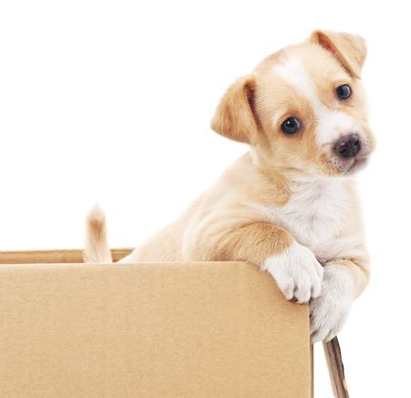 perrito marrón en una caja aislada sobre fondo blanco.