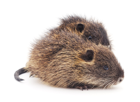 nutria: Baby nutria isolated on a white background.