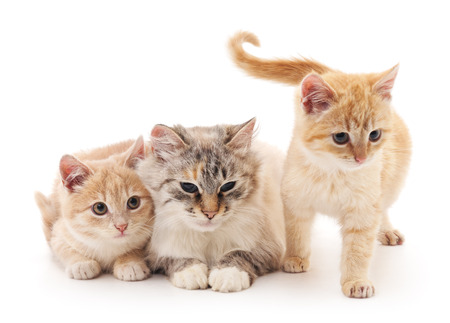 Two kittens with a cat isolated on a white background.