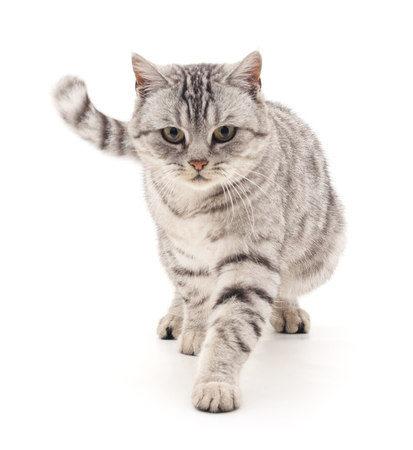 goes: Gray cat goes isolated on a white background. Stock Photo