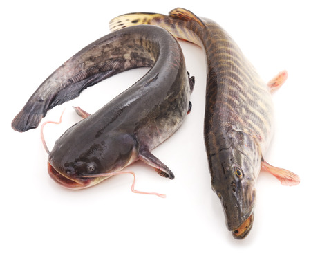 Wild catfish and pike isolated on a white background.