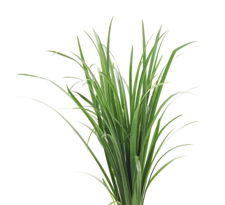 large group of object: A bunch of green grass isolated on a white background.