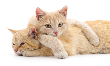 Two red cats isolated on a white background. Foto de archivo