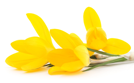 crocuses: Group of yellow crocuses isolated on a white background.