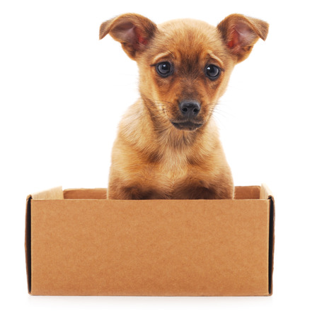 house trained: Brown puppy in a box isolated on white background.