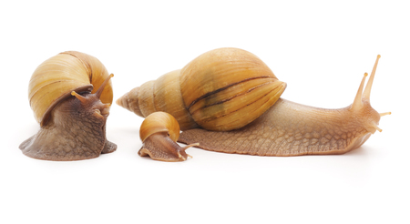snail: Big snails with small snail isolated on a white background. Stock Photo