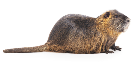 castor: Nutria grandes aisladas sobre un fondo blanco.