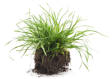 grass roots: Dreen grass with roots on a white background.