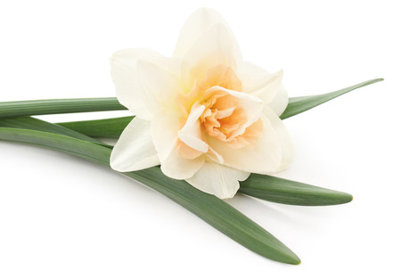 florescence: White narcissus isolated on a white background. Stock Photo