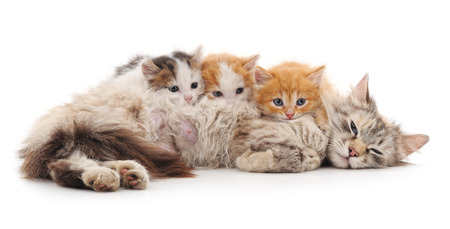 Cat with kittens isolated on a white background. Stock Photo