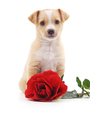 sniff dog: Puppy with a rose isolated on a white background.