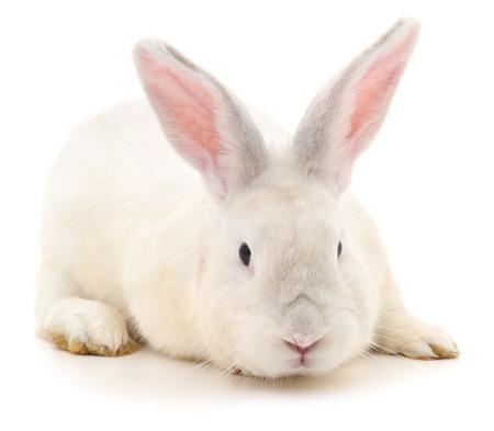 Conejo blanco aislado en un fondo blanco.