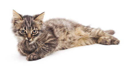 repose: Gray kitten isolated on a white background.
