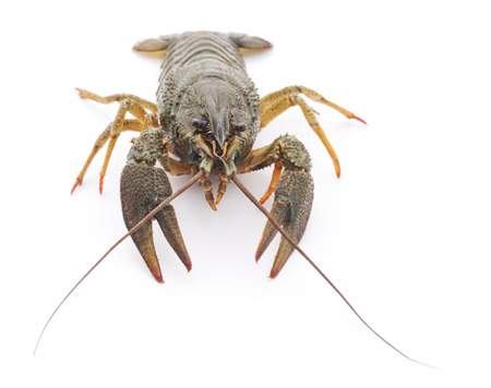 One crayfish isolated on a white background.