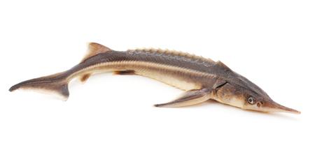 sturgeon: Wild sturgeon isolated on a white background.