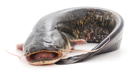 Wild catfish isolated on a white background.