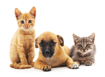 Kittens and puppy isolated on a white background. Foto de archivo