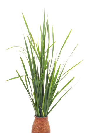 Bunch of green cane isolated on a white background. Stock Photo