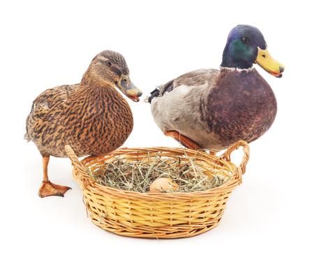 duck egg: Wild ducks near the nest on a white background.