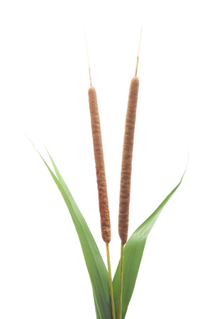 rushy: Bunch of green cane isolated on а white background. Stock Photo