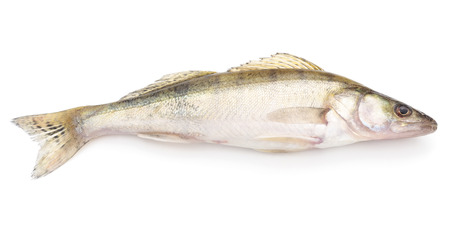 Fresh zander isolated on a white background.