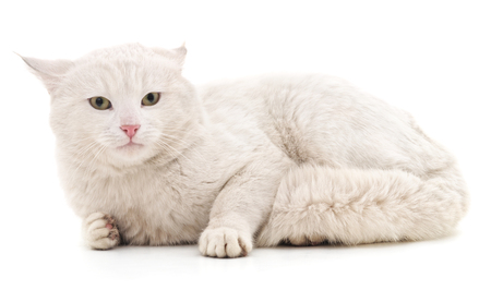 White cat isolated on a white background.