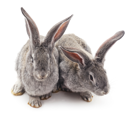 living organism: Two gray rabbits isolated on a white background. Stock Photo
