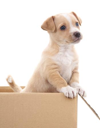 白い背景で隔離ボックスで茶色の子犬。