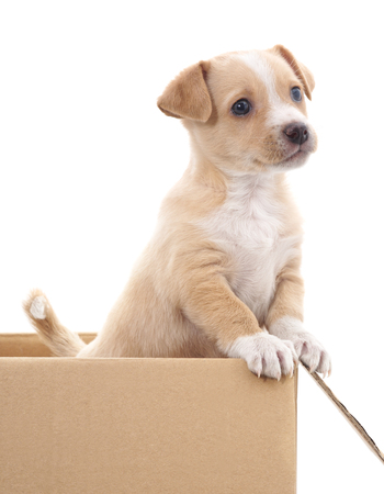 Brown puppy in a box isolated on white background.