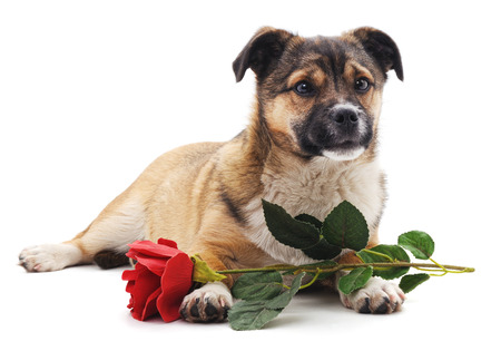 humildad: Puppy with a rose isolated on a white background.