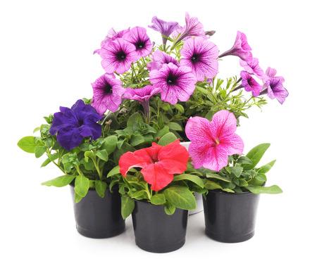 Colorful petunias isolated on white background. Standard-Bild