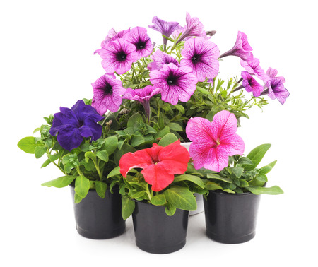 Colorful petunias isolated on white background. Foto de archivo