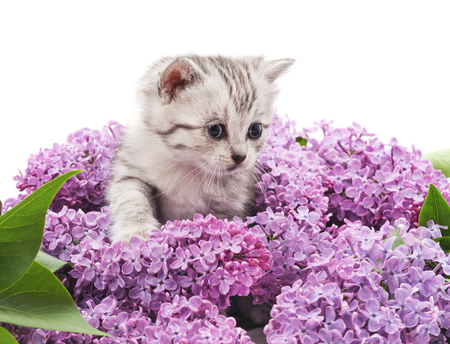 mayflower: Kitten in lilac isolated on a white background. Stock Photo