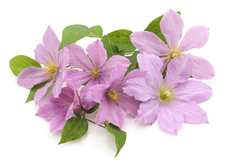 clematis: Purple clematis isolated on a white background. Stock Photo