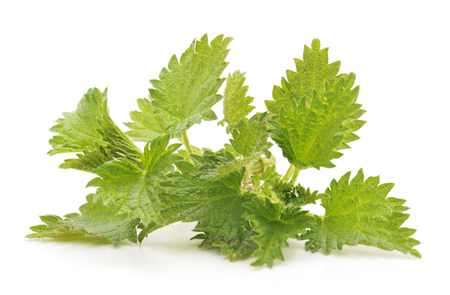 Green nettle isolated on a white background. Stock Photo