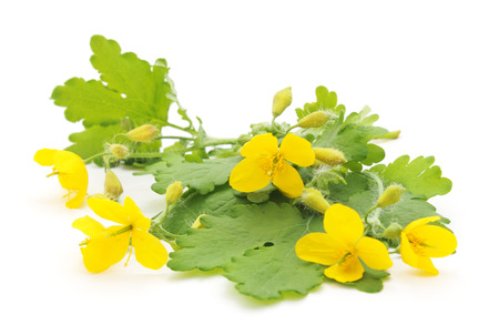 officinal: Twigs celandine isolated on a white background. Stock Photo