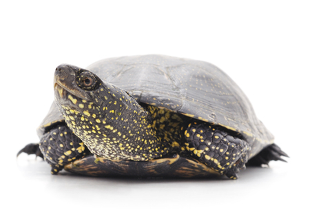 Wild turtle isolated on a white background.
