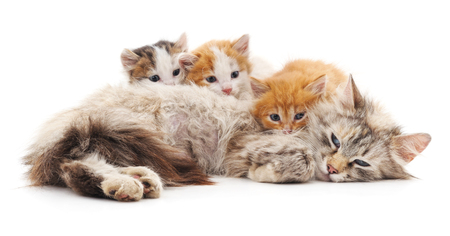 Cat with kittens isolated on a white background. Stok Fotoğraf