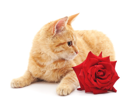 Brown kitten and a red rose isolated on a white background.